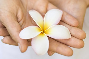 Woman's hands holding plumeria flower.
